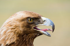 Golden Eagle. Aquila chrysaetos. Head in profile Stock Photos