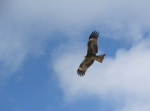 Golden Eagle. Royalty Free Stock Photo