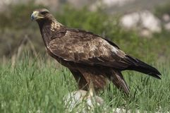 Golden eagle Aquila chrysaetos, with a newly hunted. Rabbit royalty free stock photos