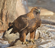 Golden eagle (Aquila chrysaetos) Stock Images