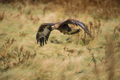 Golden eagle (Aquila chrysaetos) Royalty Free Stock Image