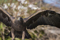 Golden eagle (Aquila chrysaetos) Stock Image