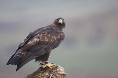 Golden Eagle, Stock Photography