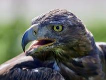 Free Golden Eagle Aquila Chrysaetos Portrait Royalty Free Stock Photography - 108137807