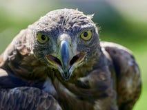 Free Golden Eagle Aquila Chrysaetos Portrait Royalty Free Stock Photography - 108137877