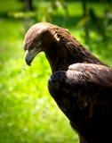 Golden eagle (aquila chrysaetos) Stock Photos