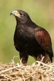 Golden Eagle - Aquila chrysaetos - Scottish Highlands Royalty Free Stock Photo