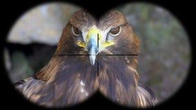 Golden Eagle Aquila chrysaetos Seen through Binoculars. Seen through Binoculars. Bird Watching at Wildlife Safari. Shot with a Sony a6300 fps 29,97 4k stock footage