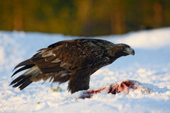 Golden eagle, Aquila chrysaetos Royalty Free Stock Photos