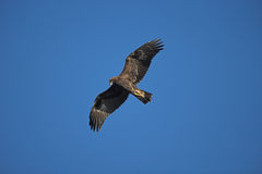 Golden eagle, Aquila chrysaetos. Single bird in flight Stock Image