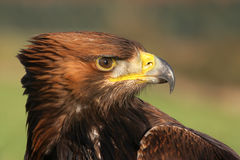 Golden eagle, Aquila chrysaetos stock image