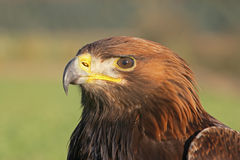 Golden eagle, Aquila chrysaetos Stock Photography