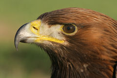 Golden eagle, Aquila chrysaetos Royalty Free Stock Images