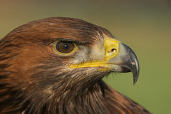 Golden eagle, Aquila chrysaetos Stock Images