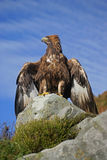 Golden eagle, Aquila chrysaetos Royalty Free Stock Image