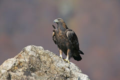 Golden eagle, Aquila chrysaetos Royalty Free Stock Photography