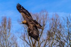 Golden eagle, Aquila chrysaetos sitting on a branch royalty free stock image
