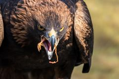 Golden eagle, Aquila chrysaetos sitting on a branch stock photos