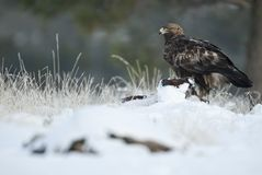 Golden eagle Aquila chrysaetos, in the snow. Eating carrion of a small pig royalty free stock images