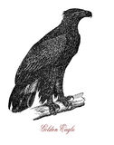 The golden eagle Aquila chrysaetos, vintage engraving. The golden eagle Aquila chrysaetos is one of the best-known birds of prey in the Northern Hemisphere Stock Photo