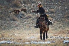 Golden Eagle Attacks Prey. Western Mongolia.Traditional Golden Eagle Festival. Unknown Mongolian Hunter So Called Berkutchi On stock photo