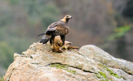 a Golden eagle with badger Royalty Free Stock Photos