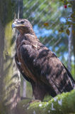Golden eagle. Beautiful golden eagle in captivity Royalty Free Stock Photography