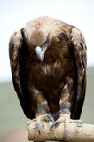 Golden Eagle with bent head. Golden eagle is sitting its head bent royalty free stock image