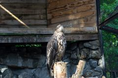 The golden eagle berkut sits on a tree royalty free stock images