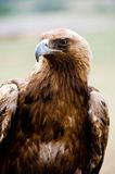 Golden Eagle bird of prey. Close shot of golden eagle Aquila chrysaetos royalty free stock image