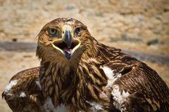 Golden eagle , bird of prey, animals and nature. Golden eagle , bird of prey, animals and nature royalty free stock photography