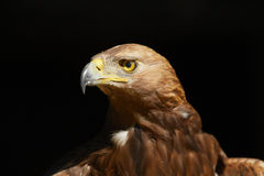 Golden Eagle Stock Photo