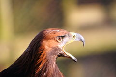 Golden Eagle calling Royalty Free Stock Image