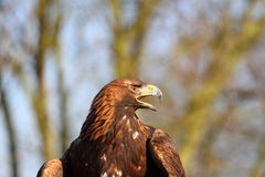 Golden Eagle calling Royalty Free Stock Photos