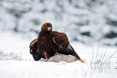 Golden Eagle with catch hare in snowy winter, snow in the forest habitat Stock Photo