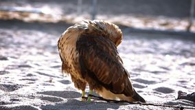 Golden eagle cleans feathers stock video