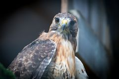 Golden Eagle. Close up of a golden eagle Royalty Free Stock Photo