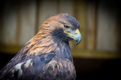 Golden Eagle. Close up of a golden eagle Royalty Free Stock Image