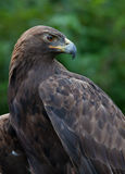 Golden Eagle close up Stock Image