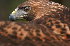 Golden eagle close-up Royalty Free Stock Images