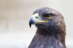 Golden Eagle close-up Royalty Free Stock Photography
