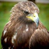 Golden Eagle. Close-up of an golden eagle head Royalty Free Stock Photos