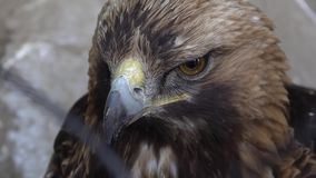 Golden eagle close up. Head of golden eagle close-up at the zoo stock video