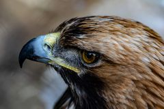 Golden eagle close up stock photography