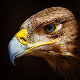 Golden eagle close up portrait Royalty Free Stock Images