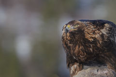Golden eagle close up Stock Images