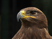 Golden Eagle. Closeup with a black background Royalty Free Stock Image