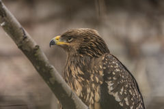 Golden Eagle in cold ZOO Liberec Royalty Free Stock Images