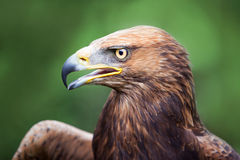 Golden Eagle crossed with a Russian Steepe Eagle Stock Image