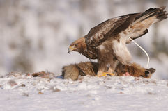 Golden Eagle Defecation Royalty Free Stock Photo